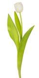 Single white tulip Royalty Free Stock Photography