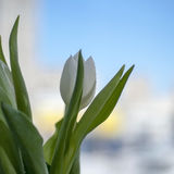 Single white tulip flower Royalty Free Stock Images