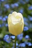 Single white tulip flower. Royalty Free Stock Photo
