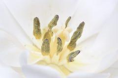 Single white tulip flower head closeup Royalty Free Stock Image