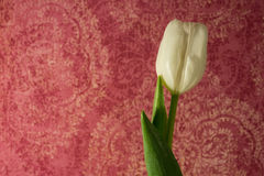 Single white tulip on a pink paisley background Royalty Free Stock Photos