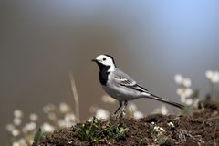 Single White wagtail bird on grassy wetlands during a spring nes. Ting period Stock Photography