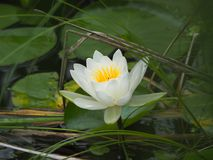 Single white water lily centred around lilypads. Beautiful single water lily among the lilypads in a pond royalty free stock photo
