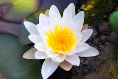 Single white water lily in a pond  Outdoors. summer Royalty Free Stock Photos