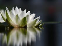 A single white water lily with reflection Stock Photo