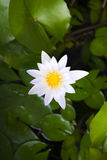 Single white waterlily Royalty Free Stock Photo