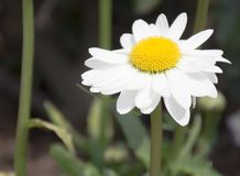 Single White and yellow gerbera Daisy Royalty Free Stock Image
