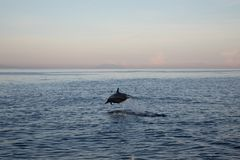 Single wild dolphin jumping in the sea with sunset sky. View of a wild dolphin jumping in the water with sunset in Lovina beach, Bali royalty free stock images