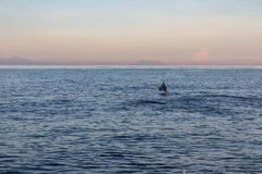 Single wild dolphin jumping in the sea with sunset sky. View of a wild dolphin jumping in the water with sunset in Lovina beach, Bali royalty free stock photos