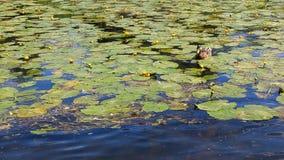 Single wild duck in wetlands Stock Image