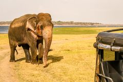 Single wild elephant charges. Single wild asian elephant charging at safari truck royalty free stock photos