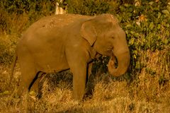 Single wild elephant. Giant wild elephant eating grass from trunk royalty free stock image