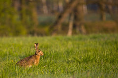 Single wild hare with big ears sits on green meadow Royalty Free Stock Images