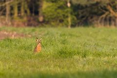 Single wild hare with big ears sits on meadow Royalty Free Stock Photos
