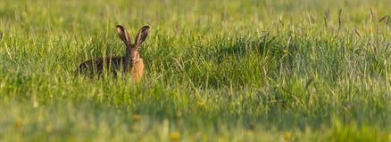 Single wild hare hidden in spring green grass Stock Photo