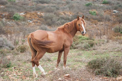 Single wild horse. Beautiful brown and white wild horse Stock Photography