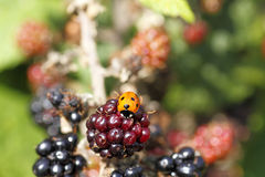 Single wild ladybird on Royalty Free Stock Photo