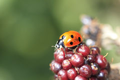 Single wild ladybird Royalty Free Stock Images