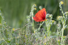 Single Wild Poppy Stock Images
