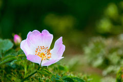 Single wild rose Stock Photo