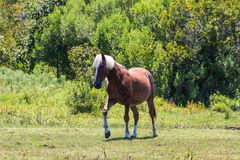 Single Wild Spanish Mustang Roams Free in Corolla, NC. A single wild Spanish Mustang walking in a pasture in Corolla, North Carolina stock photos