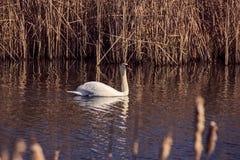 Single wild swan Royalty Free Stock Photography