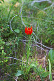 Single wild tulip in the forest Stock Photo
