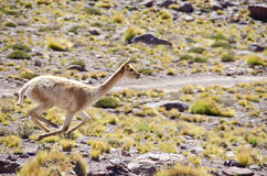 Single Wild Vicunas Running Stock Image