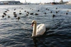 Single wild white swan in a navigable river port city. Stock Photo