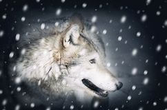 Single Wild Wolf at Snow Stock Photography