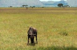 Single wildebeest Stock Photo