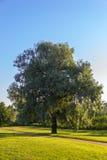 Single willow tree Royalty Free Stock Photography