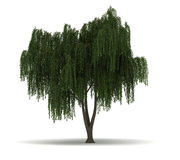 Single Willow Tree Stock Image