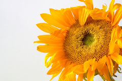 Single wilting Sunflower Stock Photo