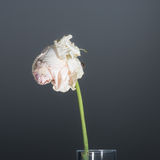 Single withered long-stemmed pink rose Stock Photography