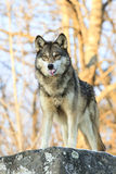 Single wolf with tongue out Royalty Free Stock Image