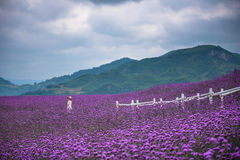 Single woman in large lavender field. A beautiful colorful picture of a stunning large lavender field with single woman royalty free stock images