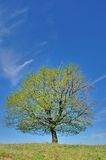 Single wonderful spring tree landscape Royalty Free Stock Image