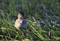 Single Wood sandpiper bird on grassy wetlands during a spring ne. Sting period Stock Photo