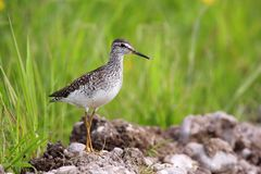 Single Wood sandpiper bird on grassy wetlands during a spring ne. Sting period Royalty Free Stock Images