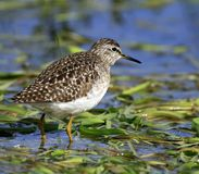 Single Wood sandpiper bird on grassy wetlands during a spring ne. Sting period Royalty Free Stock Photos