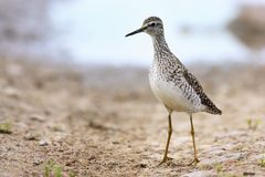 Single Wood sandpiper bird on grassy wetlands during a spring ne. Sting period Stock Images