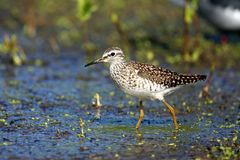 Single Wood sandpiper bird on grassy wetlands during a spring ne. Sting period Stock Photography