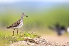 Single Wood sandpiper bird on grassy wetlands during a spring ne. Sting period Stock Image