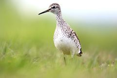 Single Wood sandpiper bird on grassy wetlands during a spring ne. Sting period Royalty Free Stock Image