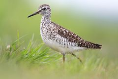 Single Wood sandpiper bird on grassy wetlands in spring season. Single Wood sandpiper bird on grassy wetlands during a spring nesting period stock photography