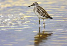 Single Wood sandpiper bird hunting in water of wetlands during a. Spring nesting period Royalty Free Stock Photos