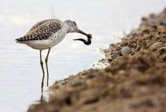 Single Wood sandpiper bird hunting in water of wetlands during a. Spring nesting period Royalty Free Stock Photo