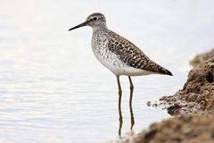 Single Wood sandpiper bird hunting in water of wetlands during a. Spring nesting period Royalty Free Stock Image