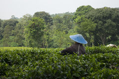 Single worker at the tea plantation Stock Photography